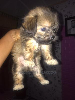 1-3 Month Male Purebred Lhasa Apso | Dogs & Puppies for sale in Lagos State, Alimosho