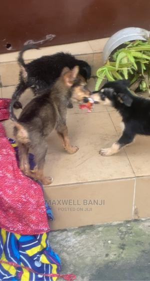 1-3 Month Female Purebred German Shepherd | Dogs & Puppies for sale in Lagos State, Ikotun/Igando