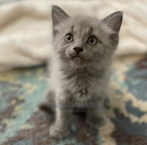 1-3 Month Female Purebred Persian | Cats & Kittens for sale in Lagos State, Surulere