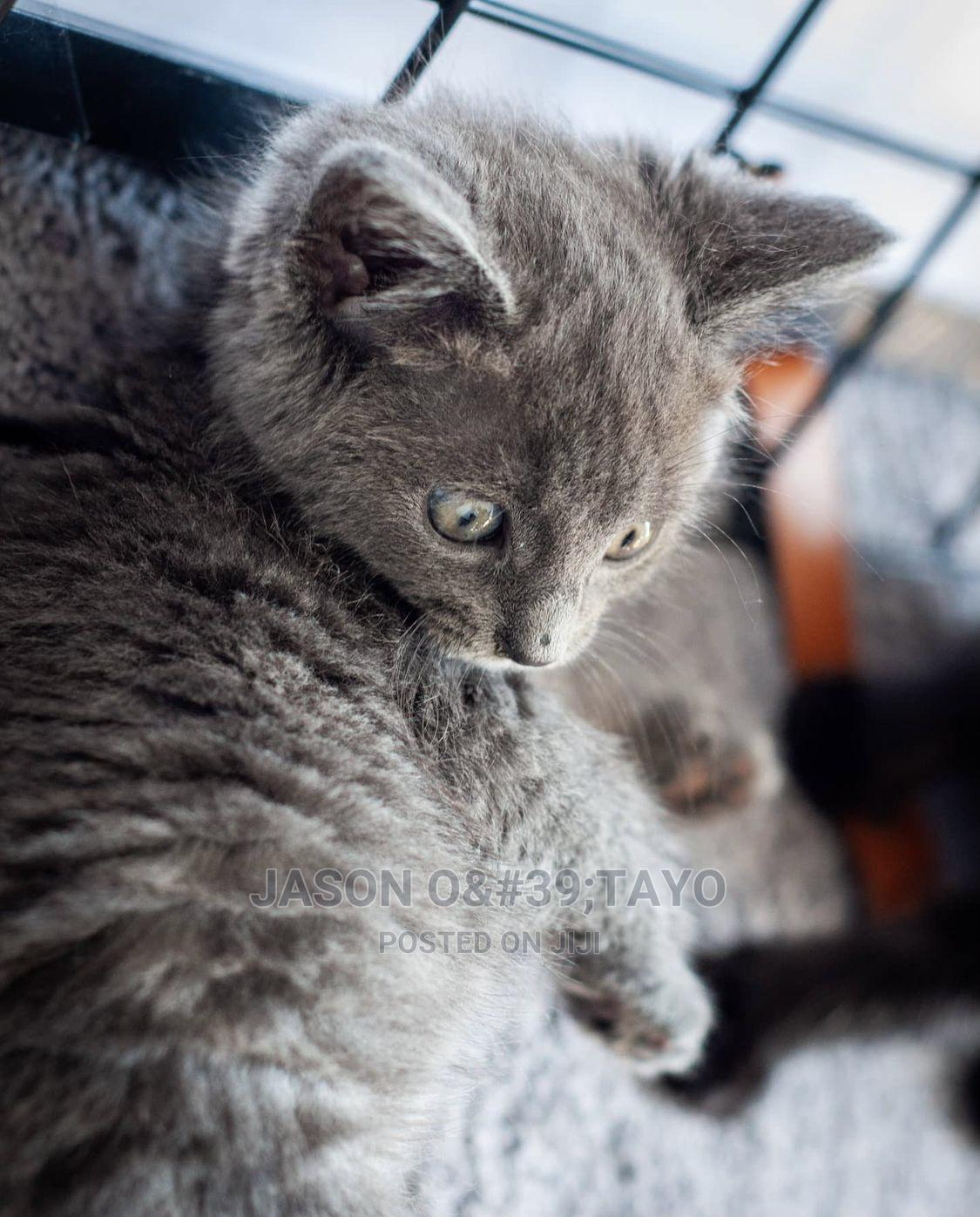 1-3 Month Female Purebred Persian | Cats & Kittens for sale in Surulere, Lagos State, Nigeria