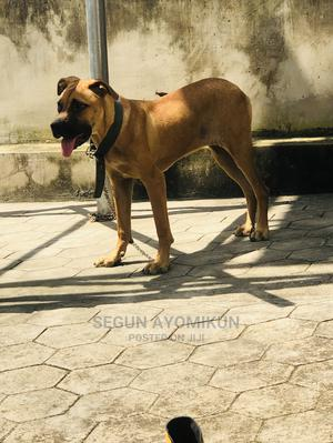 6-12 Month Female Purebred Boerboel | Dogs & Puppies for sale in Ondo State, Akure