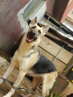 1+ Year Female Purebred German Shepherd | Dogs & Puppies for sale in Lagos State, Apapa