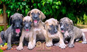 0-1 Month Female Purebred Boerboel | Dogs & Puppies for sale in Lagos State, Alimosho