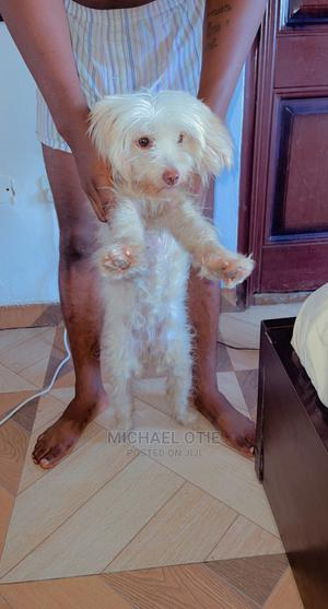 6-12 Month Female Purebred Lhasa Apso | Dogs & Puppies for sale in Lagos State, Ajah