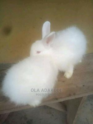 Newzealand Rabbits Weaners Available for Sale   Pet Services for sale in Kaduna State, Zaria
