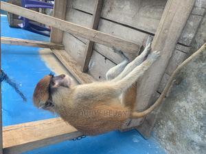 Pet Monkey   Other Animals for sale in Ogun State, Obafemi-Owode