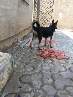 3-6 Month Male Purebred German Shepherd   Dogs & Puppies for sale in Oyo State, Ibadan