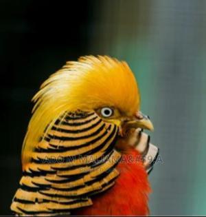 Golden Pheasant | Birds for sale in Abuja (FCT) State, Maitama