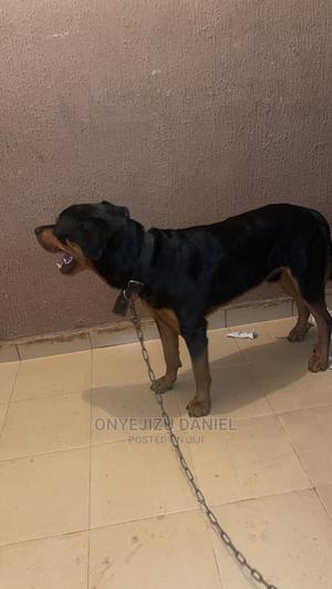 1+ Year Male Purebred Rottweiler | Dogs & Puppies for sale in Edo State, Ikpoba-Okha