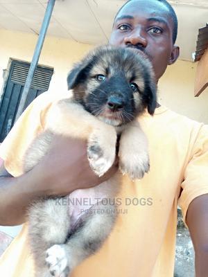 1-3 Month Female Purebred Caucasian Shepherd | Dogs & Puppies for sale in Nasarawa State, Karu-Nasarawa