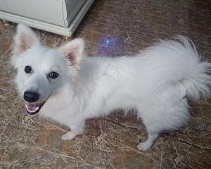 6-12 Month Male Purebred American Eskimo | Dogs & Puppies for sale in Lagos State, Ogudu