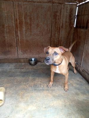6-12 Month Male Purebred American Pit Bull Terrier | Dogs & Puppies for sale in Oyo State, Ibadan