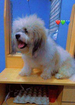 1+ Year Male Purebred Lhasa Apso | Dogs & Puppies for sale in Osun State, Osogbo