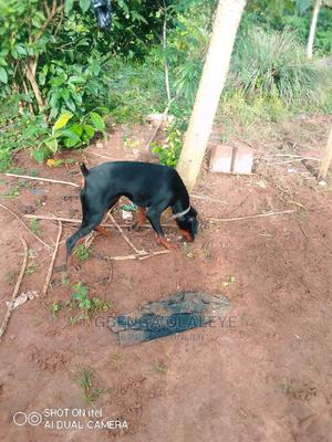 6-12 Month Female Purebred Doberman Pinscher   Dogs & Puppies for sale in Lagos State, Badagry