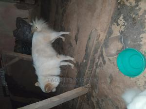 1+ Year Male Purebred American Eskimo | Dogs & Puppies for sale in Lagos State, Ikotun/Igando