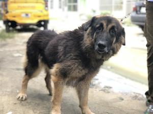 1+ Year Female Mixed Breed German Shepherd | Dogs & Puppies for sale in Rivers State, Port-Harcourt