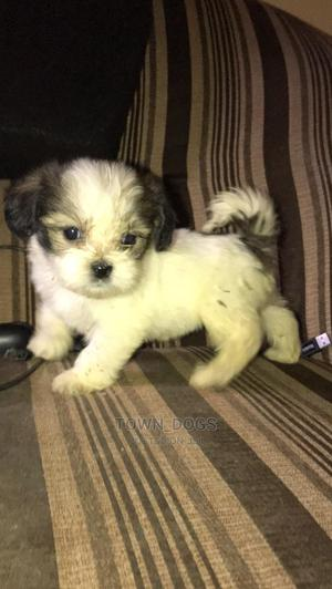 Beautiful Lhasa Aspo Puppy   Other Animals for sale in Lagos State, Alimosho