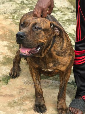 1+ Year Female Purebred Boerboel | Dogs & Puppies for sale in Oyo State, Ibadan