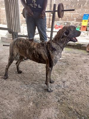 6-12 month Female Purebred Boerboel | Dogs & Puppies for sale in Oyo State, Ibadan
