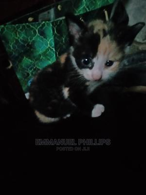 0-1 Month Female Mixed Breed Cat | Cats & Kittens for sale in Abuja (FCT) State, Lugbe District