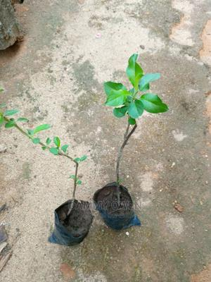Apple Seedling | Feeds, Supplements & Seeds for sale in Ogun State, Odeda