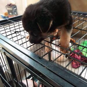 1-3 Month Female Purebred German Shepherd | Dogs & Puppies for sale in Ogun State, Ifo