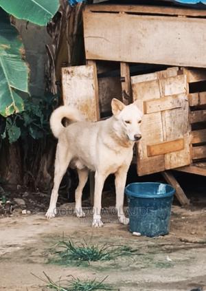 1+ Year Male Purebred German Shepherd   Dogs & Puppies for sale in Lagos State, Ikorodu