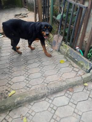 1+ Year Female Purebred Rottweiler | Dogs & Puppies for sale in Abuja (FCT) State, Mararaba