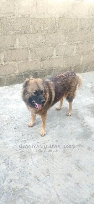 1+ Year Female Purebred Caucasian Shepherd | Dogs & Puppies for sale in Abuja (FCT) State, Gwagwalada