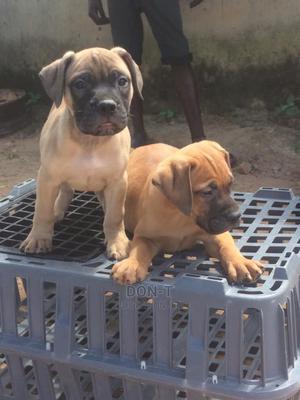 0-1 Month Female Purebred Bullmastiff | Dogs & Puppies for sale in Delta State, Oshimili North