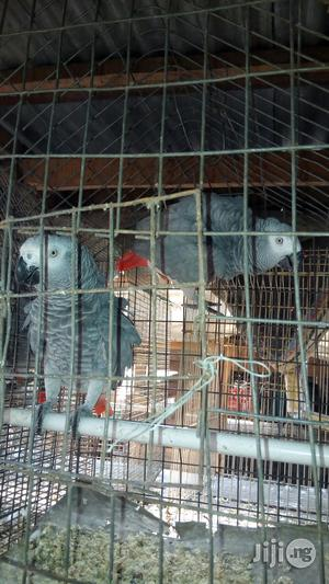 Parrot for Sale | Birds for sale in Lagos State, Yaba