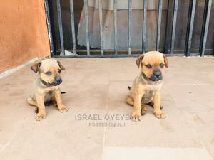 1-3 Month Male Mixed Breed Boerboel | Dogs & Puppies for sale in Osun State, Osogbo