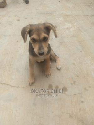 1-3 Month Female Purebred German Shepherd | Dogs & Puppies for sale in Abuja (FCT) State, Dutse-Alhaji