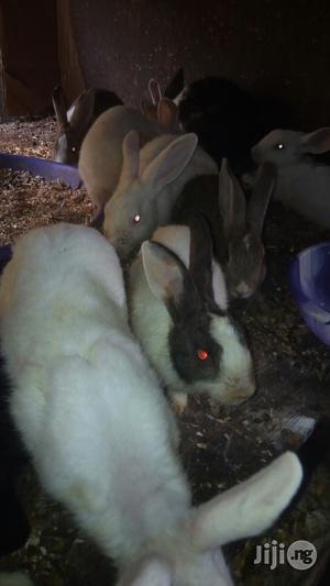Rabbit For Sales At Iddo Lagos   Livestock & Poultry for sale in Lagos State