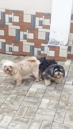 1-3 Month Male Purebred Lhasa Apso | Dogs & Puppies for sale in Abuja (FCT) State, Gwarinpa