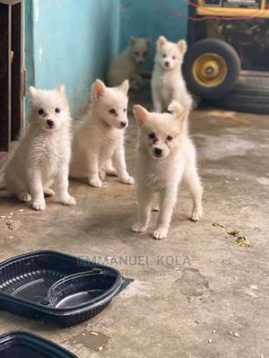1-3 Month Female Purebred American Eskimo   Dogs & Puppies for sale in Edo State, Benin City