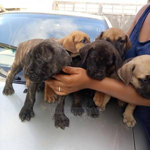 3-6 Month Female Purebred Boerboel   Dogs & Puppies for sale in Lagos State, Ajah
