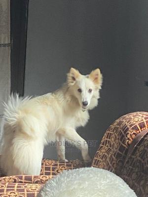 6-12 Month Male Purebred American Eskimo | Dogs & Puppies for sale in Ekiti State, Ikere