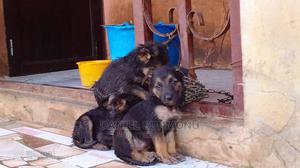 1-3 Month Female Purebred German Shepherd | Dogs & Puppies for sale in Lagos State, Abule Egba
