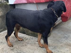 1+ Year Female Purebred Rottweiler | Dogs & Puppies for sale in Lagos State, Ikorodu