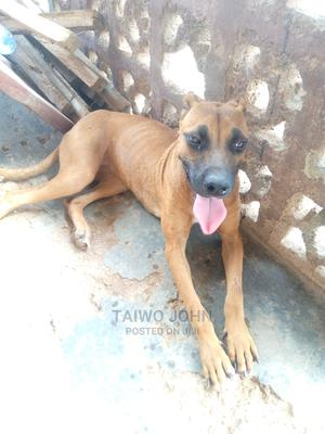 3-6 Month Female Purebred American Pit Bull Terrier | Dogs & Puppies for sale in Osun State, Ife