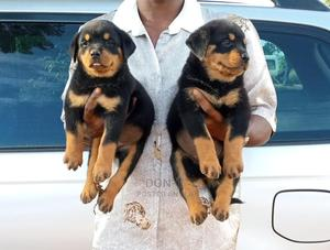0-1 Month Female Purebred Rottweiler | Dogs & Puppies for sale in Delta State, Oshimili North