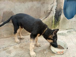 3-6 Month Male Purebred German Shepherd   Dogs & Puppies for sale in Osun State, Osogbo