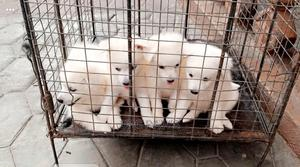 1-3 Month Male Purebred American Eskimo   Dogs & Puppies for sale in Lagos State, Shomolu
