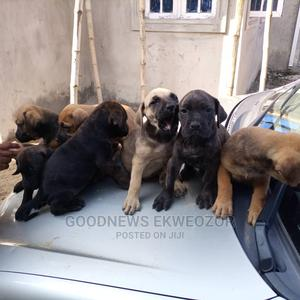 0-1 Month Female Purebred Boerboel | Dogs & Puppies for sale in Lagos State, Ibeju