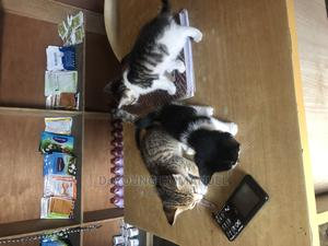 1-3 Month Male Purebred Mongrel (No Breed) | Cats & Kittens for sale in Rivers State, Port-Harcourt