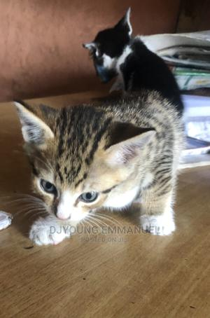 1-3 Month Female Purebred Mongrel (No Breed)   Cats & Kittens for sale in Rivers State, Port-Harcourt