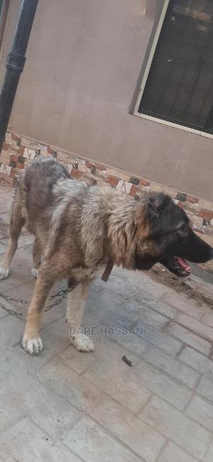 6-12 Month Female Purebred Caucasian Shepherd   Dogs & Puppies for sale in Lagos State, Ikorodu