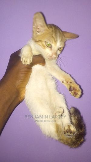 1-3 Month Male Purebred American Shorthair   Cats & Kittens for sale in Lagos State, Ajah