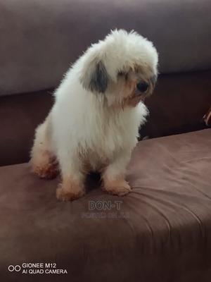 1-3 Month Male Purebred Lhasa Apso | Dogs & Puppies for sale in Delta State, Oshimili North